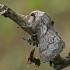 Gudobelinis verpikas - Trichiura crataegi | Fotografijos autorius : Gintautas Steiblys | © Macrogamta.lt | Šis tinklapis priklauso bendruomenei kuri domisi makro fotografija ir fotografuoja gyvąjį makro pasaulį.