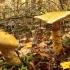 Cortinarius triumphans - Stambusis nuosėdis | Fotografijos autorius : Vytautas Gluoksnis | © Macrogamta.lt | Šis tinklapis priklauso bendruomenei kuri domisi makro fotografija ir fotografuoja gyvąjį makro pasaulį.