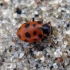 Trylikataškė boružė - Hippodamia tredecimpunctata | Fotografijos autorius : Vitalii Alekseev | © Macrogamta.lt | Šis tinklapis priklauso bendruomenei kuri domisi makro fotografija ir fotografuoja gyvąjį makro pasaulį.