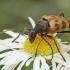 Išvartinis vėtrasekis - Pachytodes cerambyciformis | Fotografijos autorius : Gintautas Steiblys | © Macrogamta.lt | Šis tinklapis priklauso bendruomenei kuri domisi makro fotografija ir fotografuoja gyvąjį makro pasaulį.
