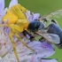 Įvairiaspalvis krabvoris - Thomisus onustus | Fotografijos autorius : Gintautas Steiblys | © Macrogamta.lt | Šis tinklapis priklauso bendruomenei kuri domisi makro fotografija ir fotografuoja gyvąjį makro pasaulį.