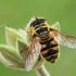 Žiedmusė - Myathropa florea | Fotografijos autorius : Gintautas Steiblys | © Macrogamta.lt | Šis tinklapis priklauso bendruomenei kuri domisi makro fotografija ir fotografuoja gyvąjį makro pasaulį.