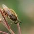 Plokščiamusė - Odontomyia sp.  | Fotografijos autorius : Gintautas Steiblys | © Macrogamta.lt | Šis tinklapis priklauso bendruomenei kuri domisi makro fotografija ir fotografuoja gyvąjį makro pasaulį.