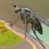 Ilgakojė muselė - Dolichopus sp. | Fotografijos autorius : Gintautas Steiblys | © Macrogamta.lt | Šis tinklapis priklauso bendruomenei kuri domisi makro fotografija ir fotografuoja gyvąjį makro pasaulį.