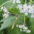 Ilgakojis uodas - Cylindrotoma distinctissima? | Fotografijos autorius : Kazimieras Martinaitis | © Macrogamta.lt | Šis tinklapis priklauso bendruomenei kuri domisi makro fotografija ir fotografuoja gyvąjį makro pasaulį.