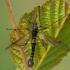 Ilgakojis uodas - Tanyptera nigricornis ♂ | Fotografijos autorius : Žilvinas Pūtys | © Macrogamta.lt | Šis tinklapis priklauso bendruomenei kuri domisi makro fotografija ir fotografuoja gyvąjį makro pasaulį.
