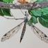 Ilgakojis uodas - Tipula irrorata ? | Fotografijos autorius : Gintautas Steiblys | © Macrogamta.lt | Šis tinklapis priklauso bendruomenei kuri domisi makro fotografija ir fotografuoja gyvąjį makro pasaulį.