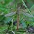 Ilgakojis uodas - Tipula paludosa  | Fotografijos autorius : Gintautas Steiblys | © Macrogamta.lt | Šis tinklapis priklauso bendruomenei kuri domisi makro fotografija ir fotografuoja gyvąjį makro pasaulį.