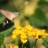 Ilgaliežuvis sfinksas - Macroglossum stellatarum   Fotografijos autorius : Vytautas Gluoksnis   © Macrogamta.lt   Šis tinklapis priklauso bendruomenei kuri domisi makro fotografija ir fotografuoja gyvąjį makro pasaulį.