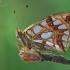 Issoria lathonia | Fotografijos autorius : Armen Seropian | © Macrogamta.lt | Šis tinklapis priklauso bendruomenei kuri domisi makro fotografija ir fotografuoja gyvąjį makro pasaulį.