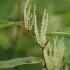 Japoninis pelėvirkštis - Fallopia japonica | Fotografijos autorius : Agnė Našlėnienė | © Macrogamta.lt | Šis tinklapis priklauso bendruomenei kuri domisi makro fotografija ir fotografuoja gyvąjį makro pasaulį.