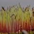 Jautrusis perkūnrugis - Funaria hygrometrica | Fotografijos autorius : Kęstutis Obelevičius | © Macrogamta.lt | Šis tinklapis priklauso bendruomenei kuri domisi makro fotografija ir fotografuoja gyvąjį makro pasaulį.