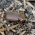 Juodaūsis žalsvažygis - Chlaeniellus nigricornis | Fotografijos autorius : Romas Ferenca | © Macrogamta.lt | Šis tinklapis priklauso bendruomenei kuri domisi makro fotografija ir fotografuoja gyvąjį makro pasaulį.