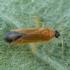 Juodagalvė žolblakė - Phylus melanocephalus | Fotografijos autorius : Žilvinas Pūtys | © Macrogamta.lt | Šis tinklapis priklauso bendruomenei kuri domisi makro fotografija ir fotografuoja gyvąjį makro pasaulį.