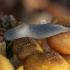 Juodagalvis dirvašliužis - Krynickillus melanocephalus | Fotografijos autorius : Žilvinas Pūtys | © Macrogamta.lt | Šis tinklapis priklauso bendruomenei kuri domisi makro fotografija ir fotografuoja gyvąjį makro pasaulį.