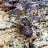 Juodajuostis skylūnėlis - Metellina merianae | Fotografijos autorius : Kazimieras Martinaitis | © Macrogamta.lt | Šis tinklapis priklauso bendruomenei kuri domisi makro fotografija ir fotografuoja gyvąjį makro pasaulį.