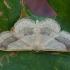 Juodajuostis sprindžiukas - Idaea aversata   Fotografijos autorius : Žilvinas Pūtys   © Macrogamta.lt   Šis tinklapis priklauso bendruomenei kuri domisi makro fotografija ir fotografuoja gyvąjį makro pasaulį.