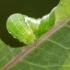 Juodaraščio ankstyvojo pelėdgalvio vikšras | Fotografijos autorius : Darius Baužys | © Macrogamta.lt | Šis tinklapis priklauso bendruomenei kuri domisi makro fotografija ir fotografuoja gyvąjį makro pasaulį.