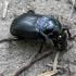 Juodasis duobkasys - Nicrophorus humator | Fotografijos autorius : Vitalii Alekseev | © Macrogamta.lt | Šis tinklapis priklauso bendruomenei kuri domisi makro fotografija ir fotografuoja gyvąjį makro pasaulį.