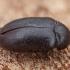 Juodasis kailiagraužis - Attagenus unicolor | Fotografijos autorius : Žilvinas Pūtys | © Macrogamta.lt | Šis tinklapis priklauso bendruomenei kuri domisi makro fotografija ir fotografuoja gyvąjį makro pasaulį.