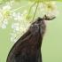 Juodasis maišuotis - Canephora hirsuta ♂ | Fotografijos autorius : Gintautas Steiblys | © Macrogamta.lt | Šis tinklapis priklauso bendruomenei kuri domisi makro fotografija ir fotografuoja gyvąjį makro pasaulį.