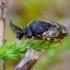 Juodasis pušinis pjūklelis - Diprion similis | Fotografijos autorius : Romas Ferenca | © Macrogamta.lt | Šis tinklapis priklauso bendruomenei kuri domisi makro fotografija ir fotografuoja gyvąjį makro pasaulį.