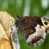 Juodasis satyras - Hipparchia hermione (= Hipparchia alcyone) | Fotografijos autorius : Vaida Paznekaitė | © Macrogamta.lt | Šis tinklapis priklauso bendruomenei kuri domisi makro fotografija ir fotografuoja gyvąjį makro pasaulį.