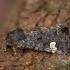 Juodasis sodinis pelėdgalvis - Melanchra persicariae | Fotografijos autorius : Žilvinas Pūtys | © Macrogamta.lt | Šis tinklapis priklauso bendruomenei kuri domisi makro fotografija ir fotografuoja gyvąjį makro pasaulį.