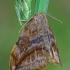 Tamsusis lenktasparnis - Drepana curvatula | Fotografijos autorius : Gintautas Steiblys | © Macrogamta.lt | Šis tinklapis priklauso bendruomenei kuri domisi makro fotografija ir fotografuoja gyvąjį makro pasaulį.