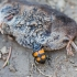 Juodbuožis duobkasys - Nicrophorus vespilloides | Fotografijos autorius : Zita Gasiūnaitė | © Macrogamta.lt | Šis tinklapis priklauso bendruomenei kuri domisi makro fotografija ir fotografuoja gyvąjį makro pasaulį.