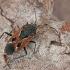 Juodrudė dirvablakė - Rhyparochromus pini | Fotografijos autorius : Gintautas Steiblys | © Macrogamta.lt | Šis tinklapis priklauso bendruomenei kuri domisi makro fotografija ir fotografuoja gyvąjį makro pasaulį.