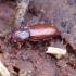 Juodvabalis - Hypophloeus fraxini | Fotografijos autorius : Romas Ferenca | © Macrogamta.lt | Šis tinklapis priklauso bendruomenei kuri domisi makro fotografija ir fotografuoja gyvąjį makro pasaulį.