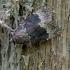 Juostasparnis tamsusis pelėdgalvis - Amphipyra perflua | Fotografijos autorius : Romas Ferenca | © Macrogamta.lt | Šis tinklapis priklauso bendruomenei kuri domisi makro fotografija ir fotografuoja gyvąjį makro pasaulį.