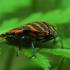 Juostelinė skydblakė - Graphosoma lineatum | Fotografijos autorius : Irenėjas Urbonavičius | © Macrogamta.lt | Šis tinklapis priklauso bendruomenei kuri domisi makro fotografija ir fotografuoja gyvąjį makro pasaulį.