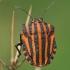 Juostelinė skydblakė - Graphosoma lineatum subsp. italicum | Fotografijos autorius : Gintautas Steiblys | © Macrogamta.lt | Šis tinklapis priklauso bendruomenei kuri domisi makro fotografija ir fotografuoja gyvąjį makro pasaulį.