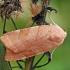 Juostuotasis dirvinukas - Noctua fimbriata | Fotografijos autorius : Gintautas Steiblys | © Macrogamta.lt | Šis tinklapis priklauso bendruomenei kuri domisi makro fotografija ir fotografuoja gyvąjį makro pasaulį.