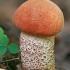 Tikrasis raudonviršis - Leccinum aurantiacum   Fotografijos autorius : Gintautas Steiblys   © Macrogamta.lt   Šis tinklapis priklauso bendruomenei kuri domisi makro fotografija ir fotografuoja gyvąjį makro pasaulį.