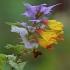 Lenkinis kūpolis - Melampyrum polonicum | Fotografijos autorius : Gintautas Steiblys | © Macrogamta.lt | Šis tinklapis priklauso bendruomenei kuri domisi makro fotografija ir fotografuoja gyvąjį makro pasaulį.