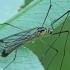 Ilgakojis uodas - Nephrotoma dorsalis ♂ | Fotografijos autorius : Gintautas Steiblys | © Macrogamta.lt | Šis tinklapis priklauso bendruomenei kuri domisi makro fotografija ir fotografuoja gyvąjį makro pasaulį.