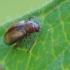 Paprastoji šilingspragė - Lythraria salicariae | Fotografijos autorius : Gintautas Steiblys | © Macrogamta.lt | Šis tinklapis priklauso bendruomenei kuri domisi makro fotografija ir fotografuoja gyvąjį makro pasaulį.