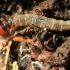Drugio vikšras - Oecophoridae sp.   Fotografijos autorius : Ramunė Vakarė   © Macrogamta.lt   Šis tinklapis priklauso bendruomenei kuri domisi makro fotografija ir fotografuoja gyvąjį makro pasaulį.