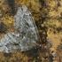 Kadaginė tera - Thera juniperata | Fotografijos autorius : Gintautas Steiblys | © Macrogamta.lt | Šis tinklapis priklauso bendruomenei kuri domisi makro fotografija ir fotografuoja gyvąjį makro pasaulį.