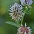Kalninis dobilas - Trifolium montanum | Fotografijos autorius : Kęstutis Obelevičius | © Macrogamta.lt | Šis tinklapis priklauso bendruomenei kuri domisi makro fotografija ir fotografuoja gyvąjį makro pasaulį.