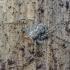 Kamieninis vikrūnas - Philodromus margaritatus | Fotografijos autorius : Kazimieras Martinaitis | © Macrogamta.lt | Šis tinklapis priklauso bendruomenei kuri domisi makro fotografija ir fotografuoja gyvąjį makro pasaulį.