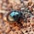 Kamuolvabalis - Lamprobyrrhulus nitidus (Schaller, 1783) | Fotografijos autorius : Vitalii Alekseev | © Macrogamta.lt | Šis tinklapis priklauso bendruomenei kuri domisi makro fotografija ir fotografuoja gyvąjį makro pasaulį.