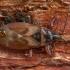 Kankorėžinė dirvablakė - Gastrodes abietum | Fotografijos autorius : Žilvinas Pūtys | © Macrogamta.lt | Šis tinklapis priklauso bendruomenei kuri domisi makro fotografija ir fotografuoja gyvąjį makro pasaulį.