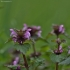 Karpytalapė notrelė - Lamium hybridum | Fotografijos autorius : Kęstutis Obelevičius | © Macrogamta.lt | Šis tinklapis priklauso bendruomenei kuri domisi makro fotografija ir fotografuoja gyvąjį makro pasaulį.