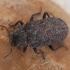 Kempininis juodvabalis - Bolitophagus reticulatus | Fotografijos autorius : Žilvinas Pūtys | © Macrogamta.lt | Šis tinklapis priklauso bendruomenei kuri domisi makro fotografija ir fotografuoja gyvąjį makro pasaulį.
