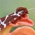 Keršoji meškutė – Arctia caja | Fotografijos autorius : Agnė Našlėnienė | © Macrogamta.lt | Šis tinklapis priklauso bendruomenei kuri domisi makro fotografija ir fotografuoja gyvąjį makro pasaulį.