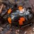 Keturdėmis valtvabalis - Scaphidium quadrimaculatum | Fotografijos autorius : Žilvinas Pūtys | © Macrogamta.lt | Šis tinklapis priklauso bendruomenei kuri domisi makro fotografija ir fotografuoja gyvąjį makro pasaulį.
